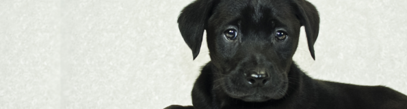 General Image - Black Lab Puppy