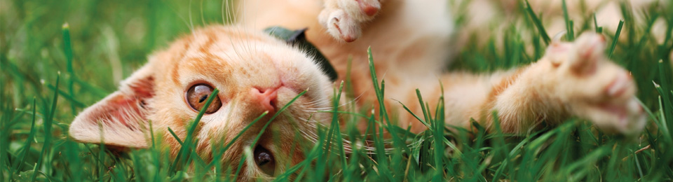 General Image - Orange Cat in Grass